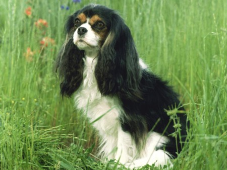 dogs-animals-desktop-charles-spaniel.jpg